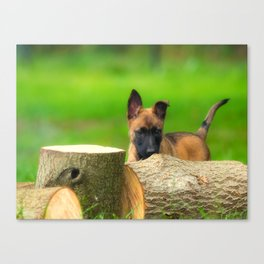 Cute Malinois Dog after the wood Canvas Print