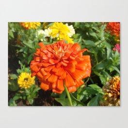 Beautiful flowers of zinnia flowers, ornamental, image Canvas Print