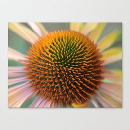 #406 Echinacea angustifolia  house  bitterroot mt macro  Canvas Print
