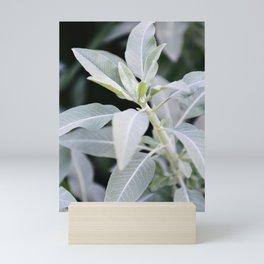 Botanical Photo I | Salvia Apiana Plant from USA | Photography | Green | Minimalistic | Art Print Mini Art Print