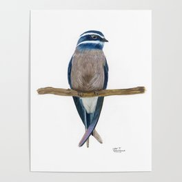 Whiskered Treeswift Watercolor Poster