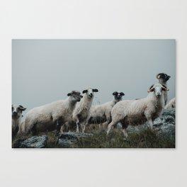 transylvanian sheep Canvas Print