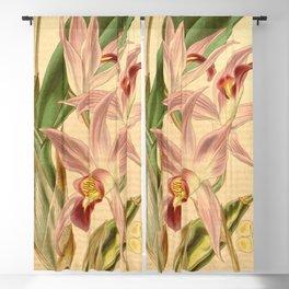 Laelia anceps Curtis' 67 (N.S. 14) pl. 3804 (1841) Blackout Curtain
