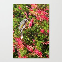 Noisy Miner Canvas Print
