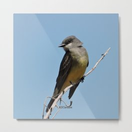 A Cassin's Kingbird Scopes the Skies for Flies Metal Print