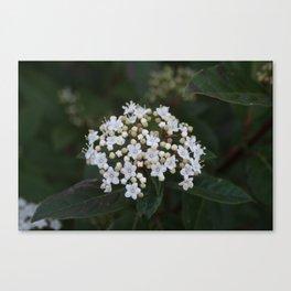 Viburnum tinus flowers and buds Canvas Print