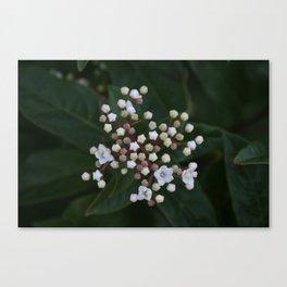 Viburnum tinus buds and flowers Canvas Print