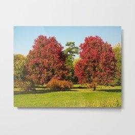 October Glory maple trees Metal Print