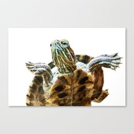 Small red-eared turtle in aquarium Canvas Print