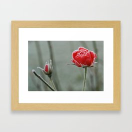 frosted rose and bud Framed Art Print