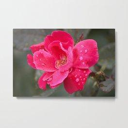 Raindrop Rose Metal Print
