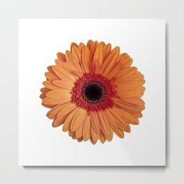 Orange Gerbera Daisy on White Background Metal Print