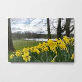 A close up view of daffodils with trees, a lake and a field in the background Metal Print