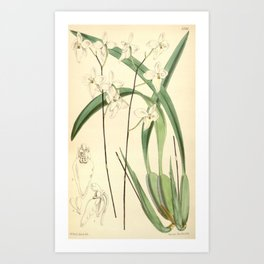 Flower 5546 palumbina candida White flowered Palumbina1 Art Print