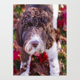 Labradoodle In Autumn Poster
