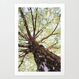 Old Birch in Spring Art Print