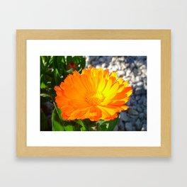 Bright Orange Marigold In Bright Sunlight Framed Art Print