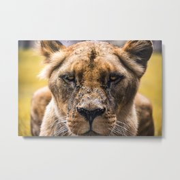 Intimidating lioness staring at you Metal Print