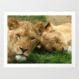 Asian Lions (Panthera leo persica) Art Print