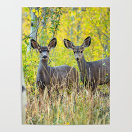 Double Take - Pair of Young Mule Deer Hiding in Autumn Aspens Poster