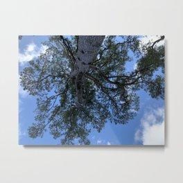 Pine from Below. Metal Print