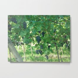 Alsatian wine grapes Metal Print