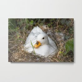 White Call Duck Sitting on Eggs in Her Nest Metal Print