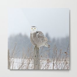 Snow falling on Miss Snowy Metal Print