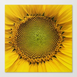 Sunshine sunflower Canvas Print