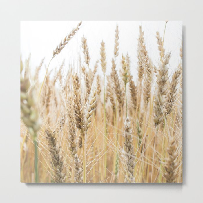 Harvest Wheat Field Metal Print