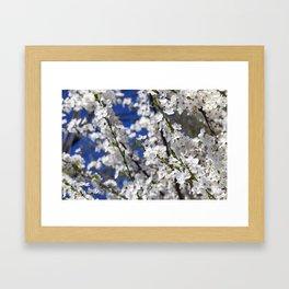 blooming white cherry Framed Art Print