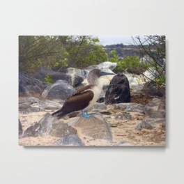 The Blue Footed Booby Metal Print