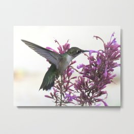 Feeding hummingbird 63 Metal Print