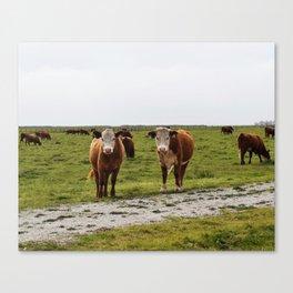 California Cows Canvas Print