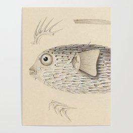 Naturalist Pufferfish Poster