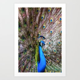 Dunedin Cemetery Peacock Art Print