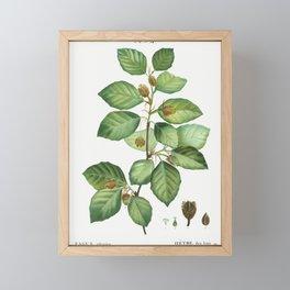 European beech (Fagus sylvatica) from Traité des Arbres et Arbustes que l'on cultive en France en pl Framed Mini Art Print