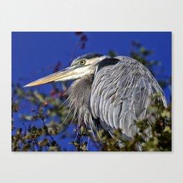 Portrait of a great blue heron Canvas Print