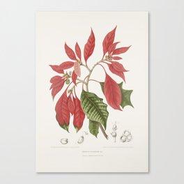 Vintage botanical illustration - Poinsettia, Euhorbia pulcherrima Canvas Print