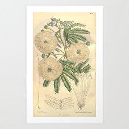 Flower 8129 calliandra portoricensis major Art Print