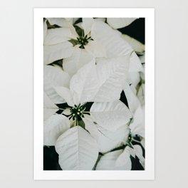 White Poinsettia Art Print