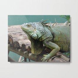 happy iguana at an animal sanctuary Metal Print