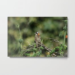 Rufous Collared Sparrow in a Tree Metal Print
