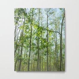 Young Aspen Trees Metal Print