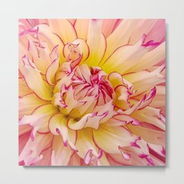 Pink Dahlia with Bright Pink tips Close Up Detail Metal Print