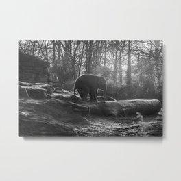 Elephant Black and White Photograph Metal Print