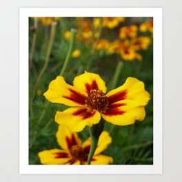 Yellow Marigold Flowers Art Print