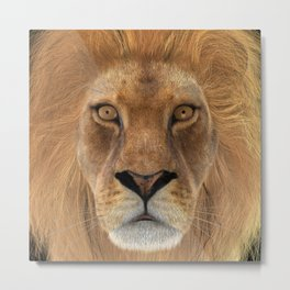 Male Lion Metal Print