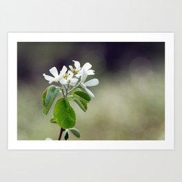 Malus flowers - spring 30 Art Print