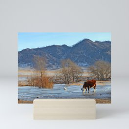 Cow drinking from a mountain stream from under ice in winter Mini Art Print